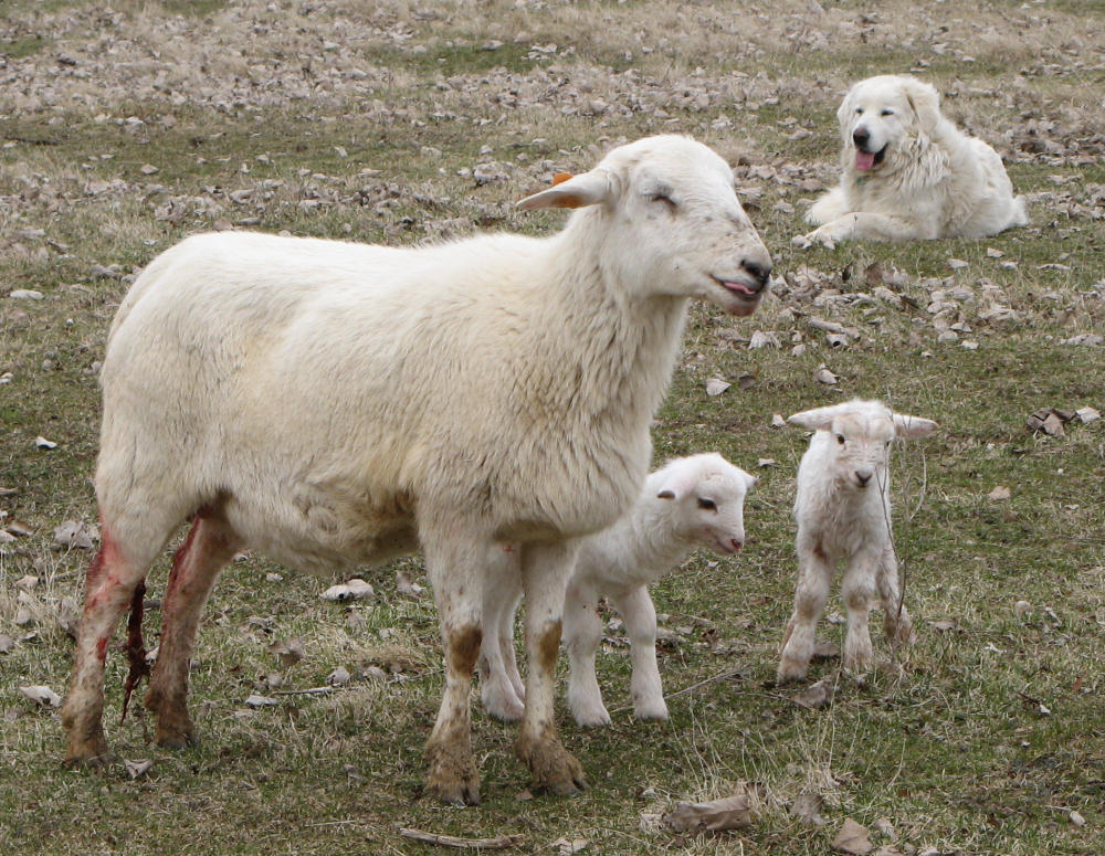 Limba and new lambs